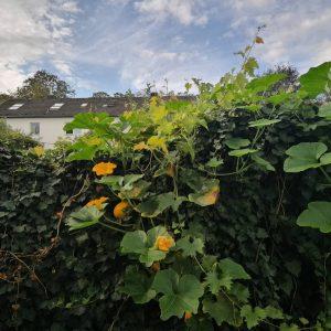 Kürbispflanze überm Zaun